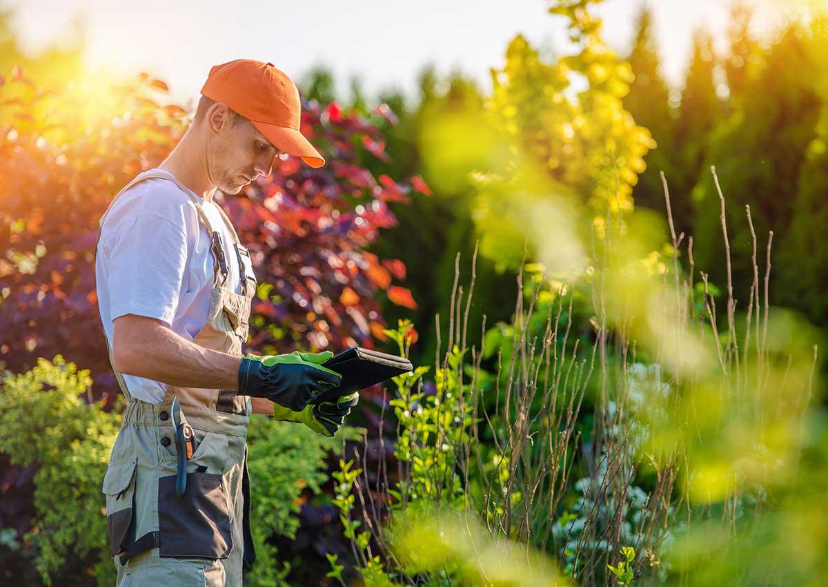 Hortikultura Araucaria Održavanje vrta